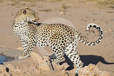 Leopard big spotted cat standing