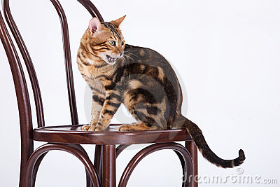 Leopard Cat On A Chair