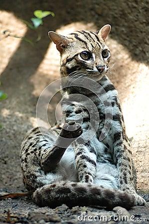 Leopard Cat - Prionailurus ben