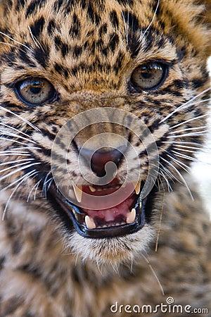 Leopard cub roar