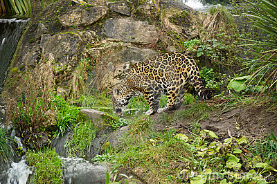 Leopard drinking water