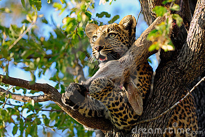Leopard eating on a tree
