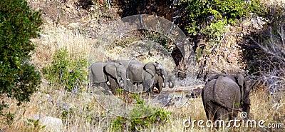 Leopard and Elephants