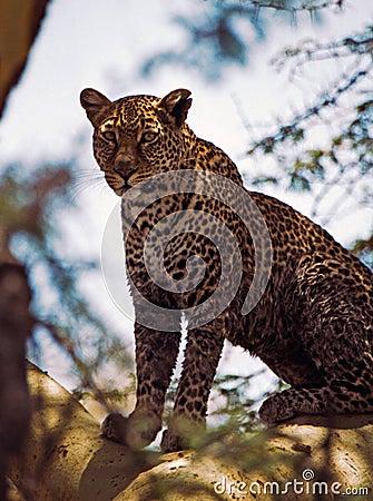Leopard in fevertree