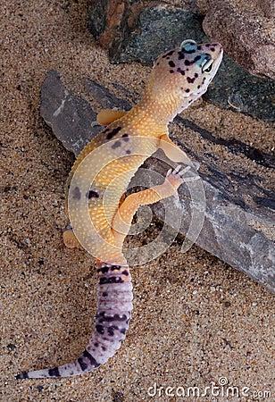 Leopard gecko climbing
