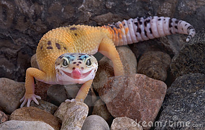 Leopard gecko sticking tongue out