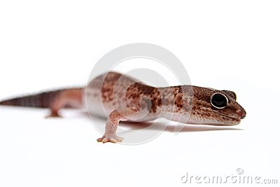 Leopard gecko on white