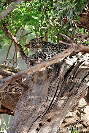 Free Leopard Hiding In A Tree Stock Photography - 666812