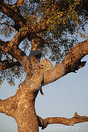 Free Leopard In A Tree Royalty Free Stock Photo - 3369915