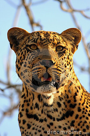 Free Leopard In A Tree Stock Photo - 5514680