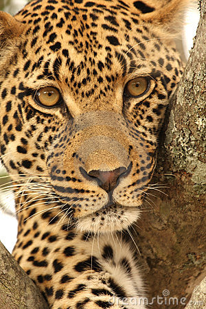 Free Leopard In A Tree Royalty Free Stock Photos - 5700408