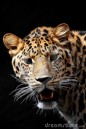 Free Leopard Is Ready Tu Hunt Royalty Free Stock Image - 9288656