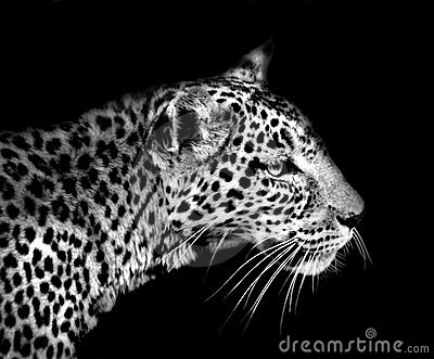 Leopard Isolated On Black Royalty Free Stock Image - Image: 11926146
