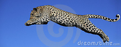 leopard jumps