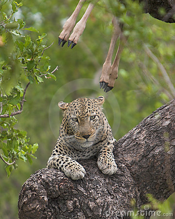 Free Leopard Kill Royalty Free Stock Images - 1727199