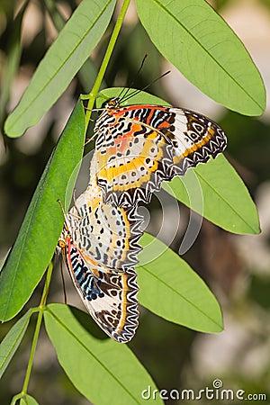Leopard lacewing butterflies