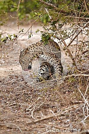 Leopard lick itself