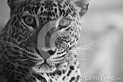 Leopard lokk
