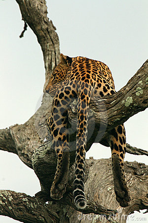 Leopard in an Old Tree