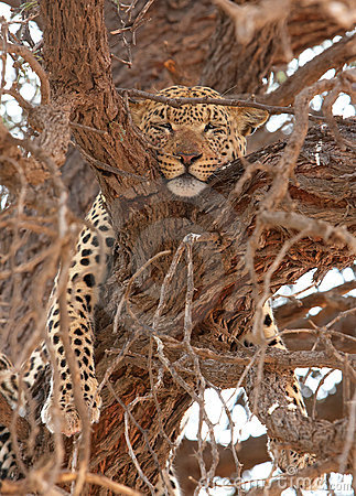 Leopard (Panthera pardus) lying on the tree