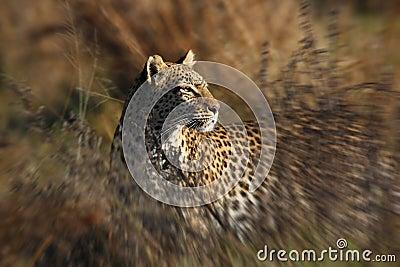 Leopard (Panthera pardus) - Savuti -Botswana