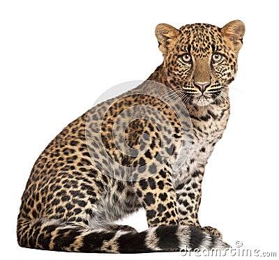 Leopard, Panthera pardus, sitting