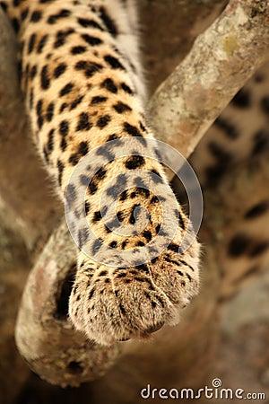 Free Leopard Paw Stock Photos - 5515233