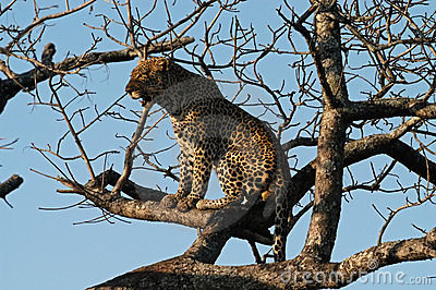 Leopard perches in a tree