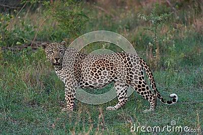 The leopard portrait