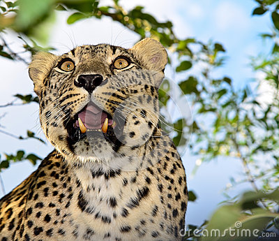 Leopard, predator, animal, Teeth, opened mouth, sp