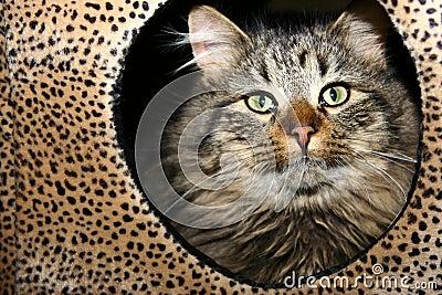 Leopard print cat