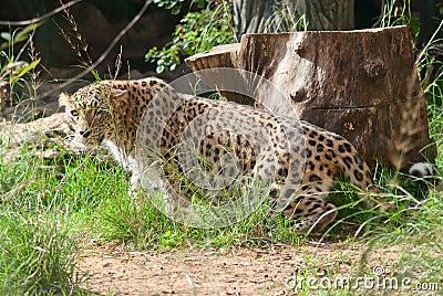 Leopard prowls