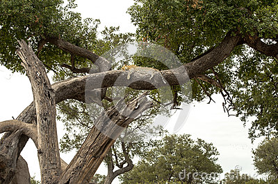 Leopard relaxed lying in the boughs of a tree