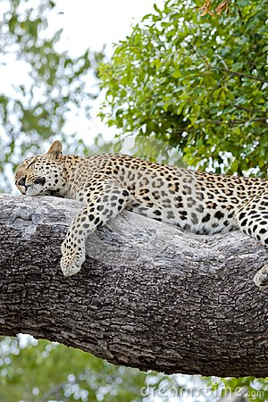 Free Leopard Relaxed Lying On Tree - Wallpaper - Offline Royalty Free Stock Photography - 103306617