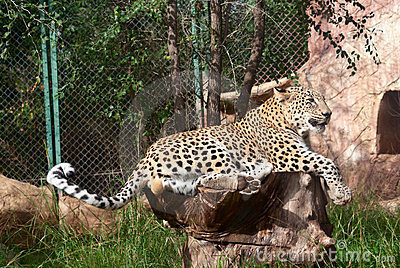 Leopard rests