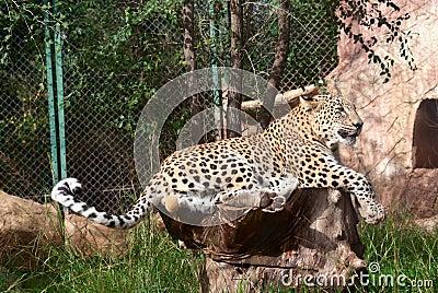 Leopard rests