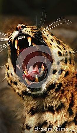 Free Leopard Roar Stock Image - 18131391