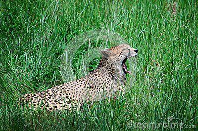 Leopard roar