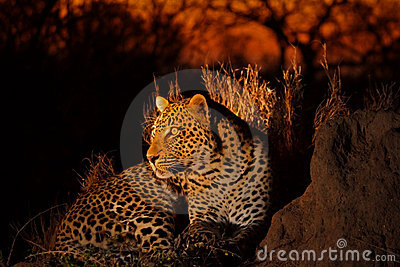 Leopard in the Sabi Sands