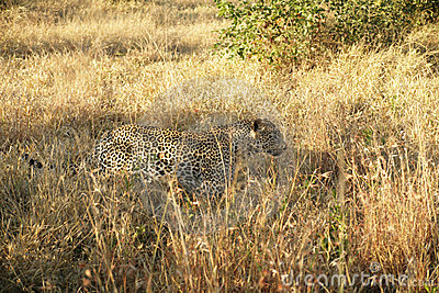 A leopard in the Sabie Sands Private Game Reserve