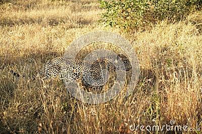 A leopard in the Sabie Sands Private Game Reserve