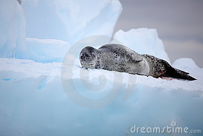 Leopard seal on iceberg, Antarctica