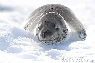 Leopard Seal on icerberg, Antarctica