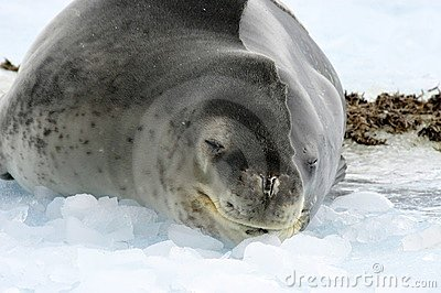 Leopard Seal in Oceberg
