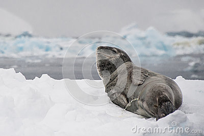 Leopard seal pees