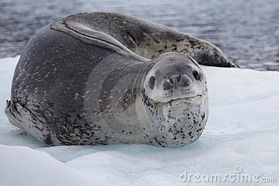 Leopard seal resting on ice floe, Antarctica