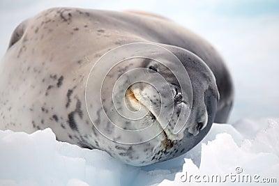 Leopard seal smile, Antarctica