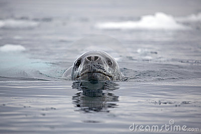 Leopard seal swimming, Antarctica
