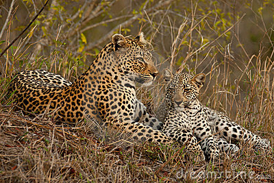Leopard with sitting cub