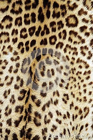 Free Leopard Skin Royalty Free Stock Photo - 14627335